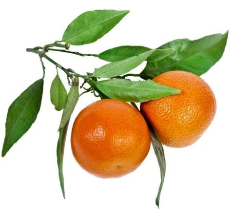 health benefits of tangerine essential organic facts