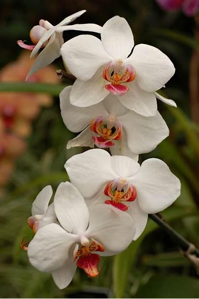 Orchid Cultivar 2000px Flowers