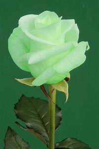 The green rose. This is gorgeous. My Mamaw had a rose like ...
