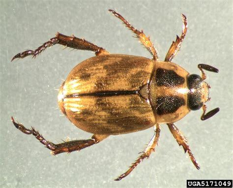 oriental beetle anomala orientalis coleoptera