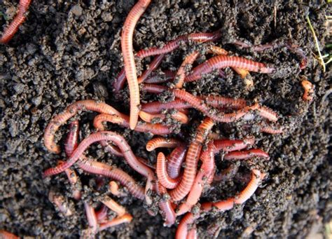 worms for garden earthworms in your garden thriftyfun
