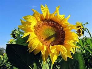 Bilder Blumen Kostenlos Downloaden : sonnenblume hintergrundbilder kostenlos sommer ~ Frokenaadalensverden.com Haus und Dekorationen