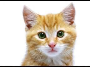 cutest cat breeds 10 cutest cat breeds in the world top ten stuffs
