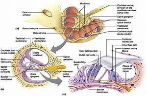 Anatomy Of The Cochlea  Cartoon Illustration Of The Cochlea  Panel A  A
