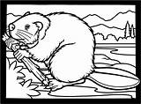 Coloring Beaver Pages Beavers Clipart Colouring Dam Printable Canadian Building Animals Drawing Wood Wildlife Bever Clip Chewing Funny Hill Kleurplaat sketch template