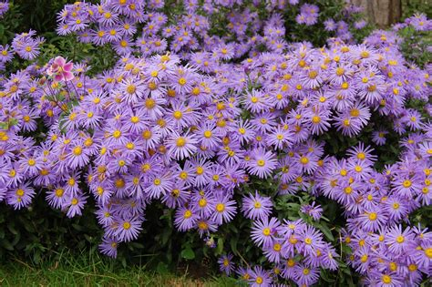 aster fiori aster amellus king george 21 09 2013 kew gardens
