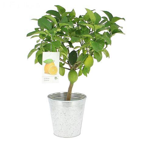 comment soigner un citronnier
