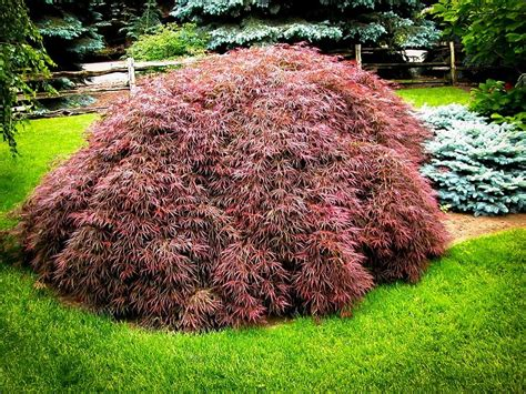 japanese maple tamukeyama japanese maple for sale online the tree center