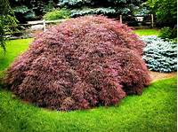 Japanese Maple Bush Home Design Ideas