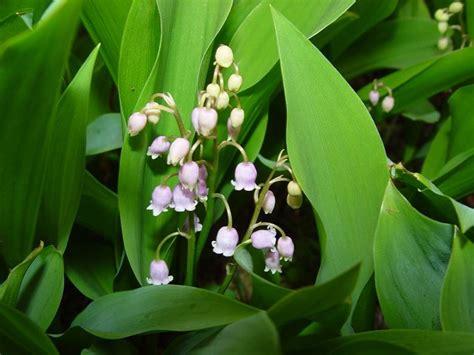 fiori di mughetto fiori mughetto fiori delle piante