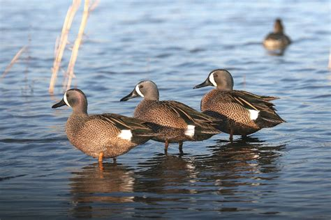 Blue Winged Teal Us Fish And Wildlife Service
