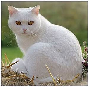 Colours of British shorthair and longhair cats. British ...