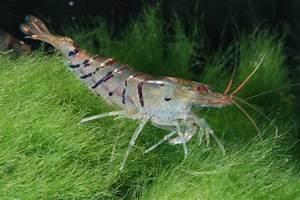 Co2 Aquarium Berechnen : tigergarnele caridina cf cantonensis aqua ~ Themetempest.com Abrechnung