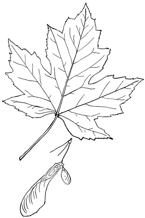 genus acer  maple maple leaf drawing leaf drawing