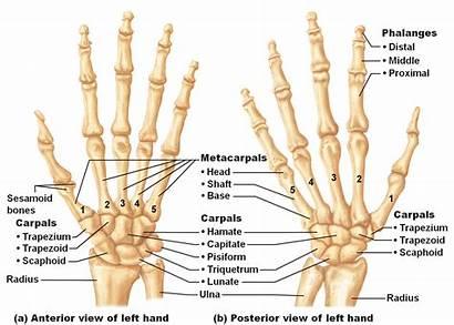 Bones Major Anatomy Flashcards Hand Bone Physiology