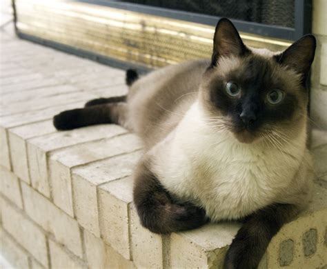 cats expensive cat cost sheknows breeds siamese than balinese dogs fancy mortgage could animals oriental most