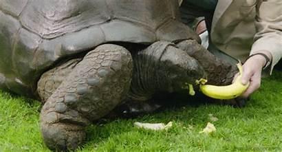 Tortoise Giant Banana Head Gifs Animals Orange