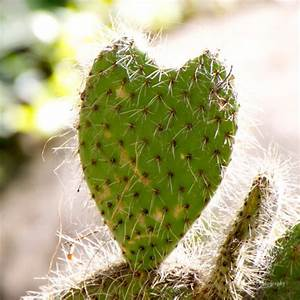 Heart shaped Cactus 8x8 Art Print - Nature Photography
