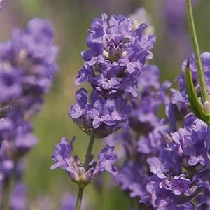 Englischer Garten Pflanzen : englischer lavendel elizabeth von g rtner p tschke ~ Articles-book.com Haus und Dekorationen