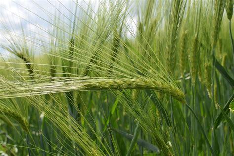 Background Crop Free Images Light Sun Barley Prairie Crop