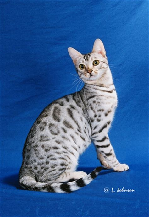 Savannah & Bengal Cats And Kittens For Sale  Urban Safari