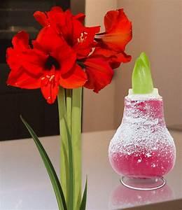 Amaryllis In Wachs : wachs amaryllis touch of snow rot 1a qualit t baldur garten ~ Lizthompson.info Haus und Dekorationen