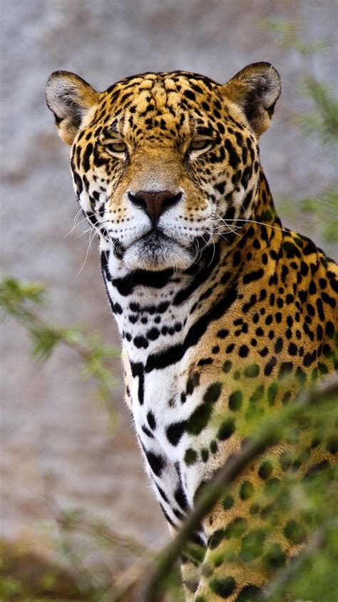 Jaguar Animal Iphone Wallpaper - jaguar animal wallpaper hd image collections wallpaper