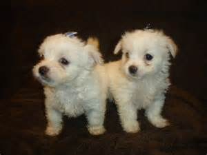 No Shedding Dog Breeds Small Dogs by Tiny Teacup Maltese X Chihuahua Malchi Puppies Penarth