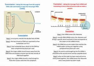 Transcription And Translation Comparison