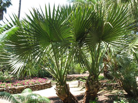 Online Plant Guide Sabal minor x Sabal mexicana