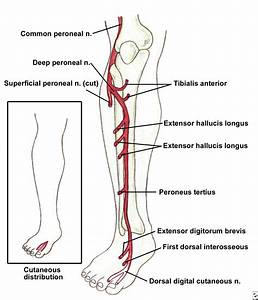 i love physical therapy: Foot drop: L4/5 root or peroneal ...