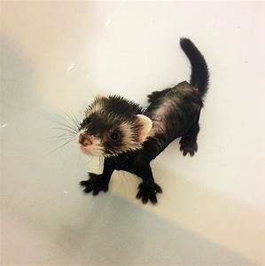 20+ Funny Ferrets That Just Want To Play With You | Bored ...