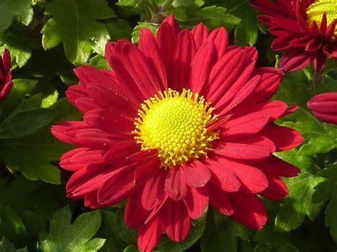 Garten Chrysantheme Kaufen by Chrysanthemen Kaufen Oder Selber Vermehren Garten