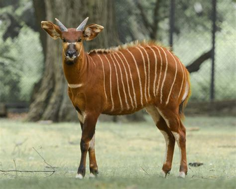 bongo antelope facts diet habitat pictures