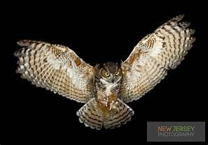 Great Horned Owl, in flight, New Jersey | :-) | Pinterest ...