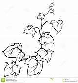 Vines Vine Coloring Ivy Drawing Drawn Plant Sketch Leaf Clipart Template Vector Creeping Jungle Pumpkin Climbing Woody Printable Disegno Poison sketch template