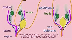The Reproductive System Of Male And Female - Diagram Body ...
