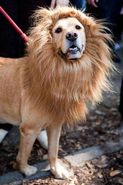 dog wearing fake lions main luvbat
