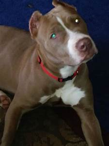 Pit Bull Breed Information And Photos