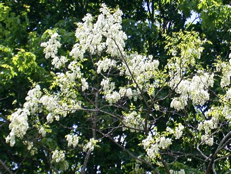 a tree with white flowers rurification more trees with white flowers