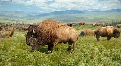 Bison American 3d Scene North