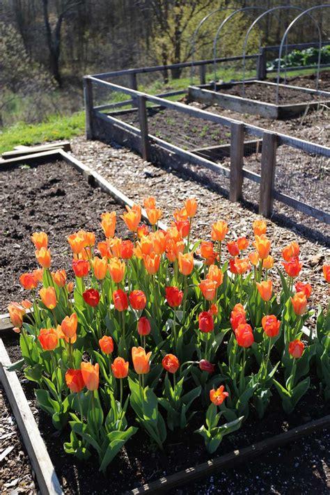 planting tulips in planting tulip bulbs in your vegetable garden longfield gardens