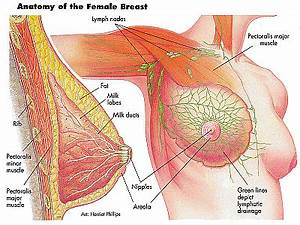 Anatomy And Physiology Of Mammary Glands  Breast