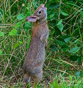 Wild Rabbit Standing to Reach for Greens Rabbit Picture