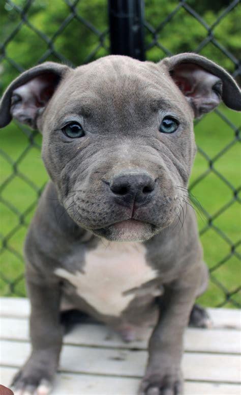 blue nose pitbull puppies  sale blue nose pitbull