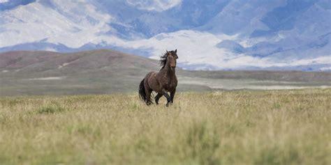 wild horses arizona management horse forest campaign american keystone species bureau land california