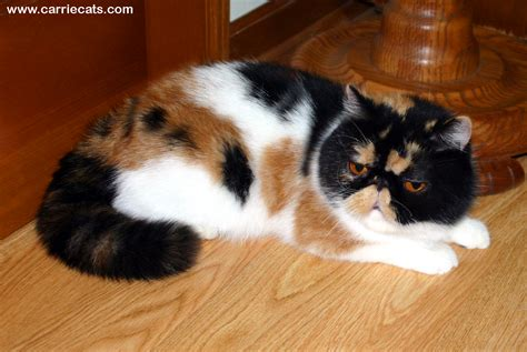 Exotic Shorthair Adults Page By Carriecats