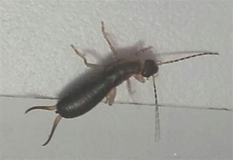 insectes dans la cuisine insecte fin avec de longues antennes dans cuisine le