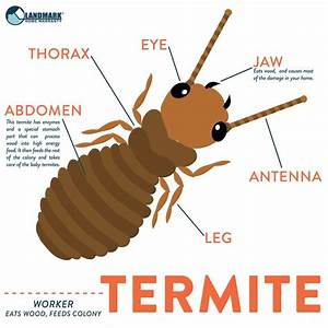 There Are A Number Of Different Type Of Termites In Each