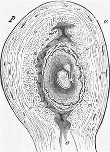 Relation Of The Foetal To Maternal Placenta